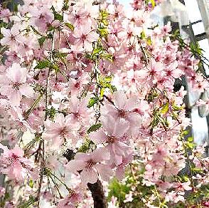 サクラ富士枝垂れ富士の糸枝垂れ ■良品庭木■桜 人気ショップが最安値挑戦 富士枝垂れ 10.5cmポット苗 一重 予約販売