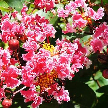 サルスベリペパーミントレース夏祭り ■良品庭木■サルスベリ ペパーミントレース(夏祭り)10.5cmポット苗