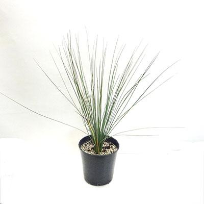 ■良品庭木■限定3鉢!グラスツリーキサントロエア オーストラリス7号鉢植え