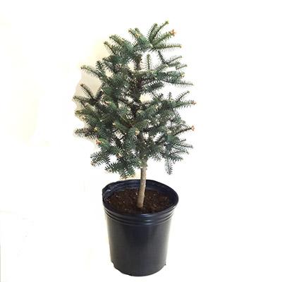■良品庭木■現品!《希少限定品》モミノキ アビエス ヌミディカグラウカアルジェリアモミ9号ポット植え