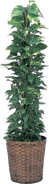 【送料無料】観葉植物・ポトス10号(大サイズ) 【高さ160cm~180cm】