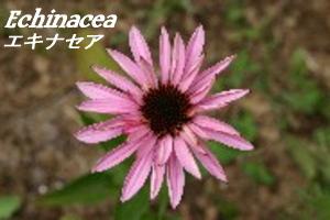 折衷主义研究所 Inc.(eclectic) 紫锥菊 (菊) 90 粒通过口耳相传,推荐,● 可靠及安全的草药秘密出售