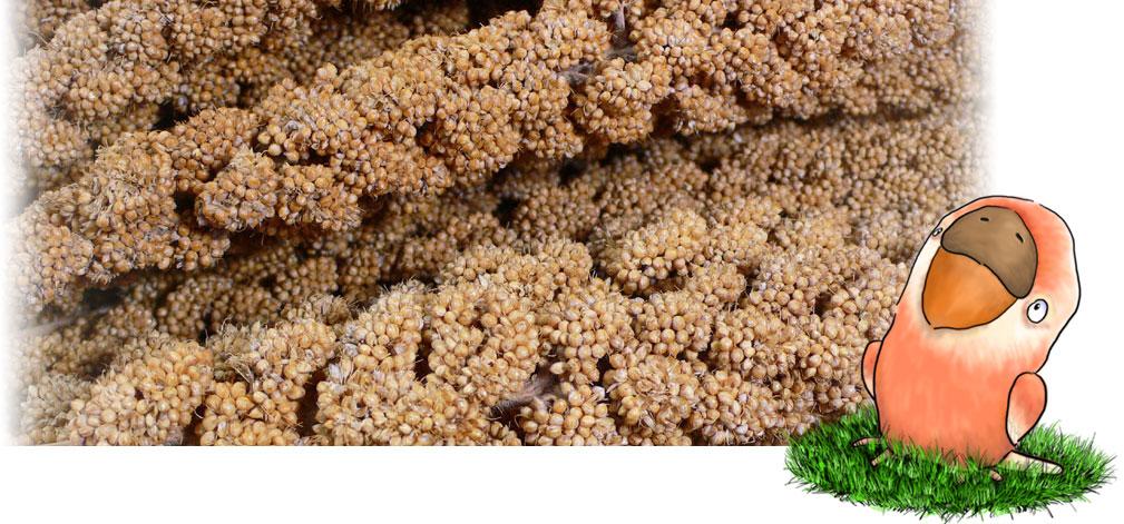 フランス産 黄 粟の穂 13kg箱入り: 鳥の餌 えさ