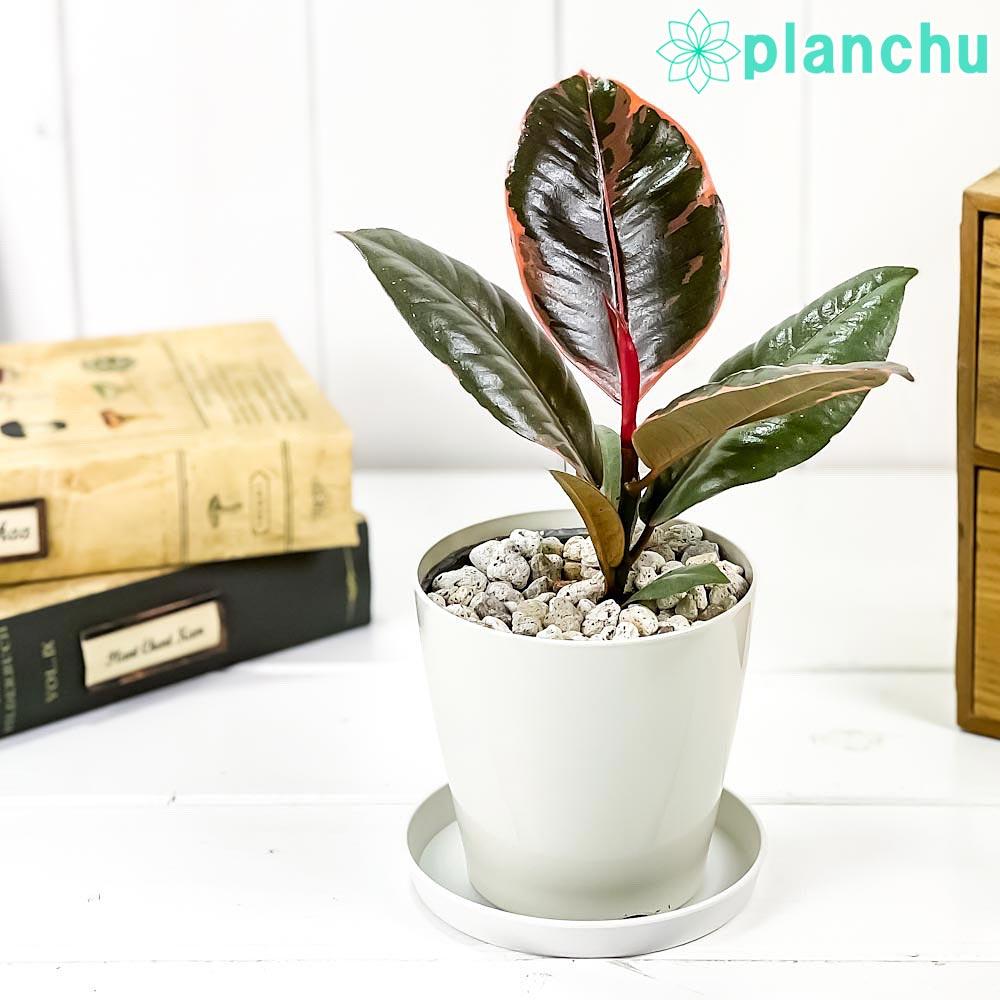 観葉植物 フィカス ルビー 3.5号鉢 受け皿付き 育て方説明書付き Ficus elastica 'Ruby' ゴムノキ ゴムの木 インドゴムノキ レア