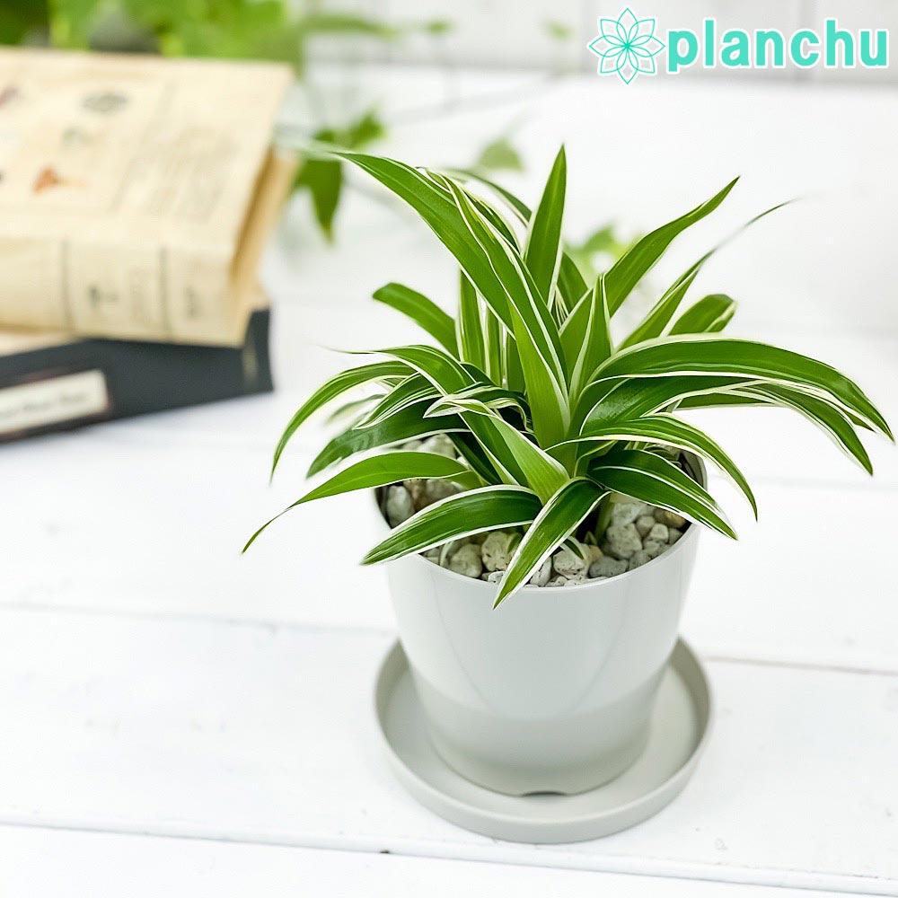 観葉植物 クロロフィツム シャムオリヅルラン 3.5号鉢 受け皿付き 育て方説明書付き Chlorophytum bichetii クロロフィタム