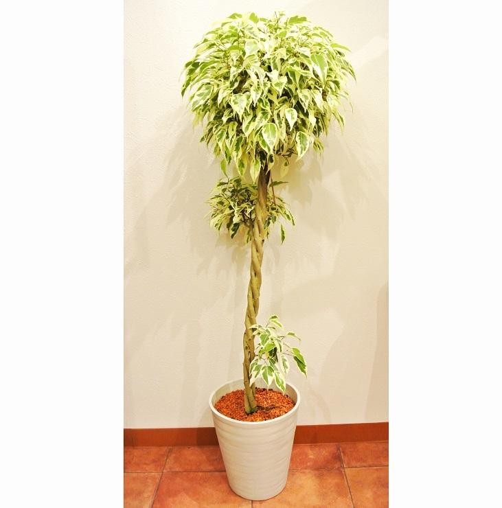 観葉植物 フィカス スターライト クイーン