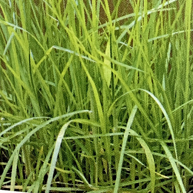 芝 草 種 キクユグラス 種 1kg 種のみの販売 侵食防止 緑化 法面 種子 紅大 共B 代引不可 個人宅配送不可