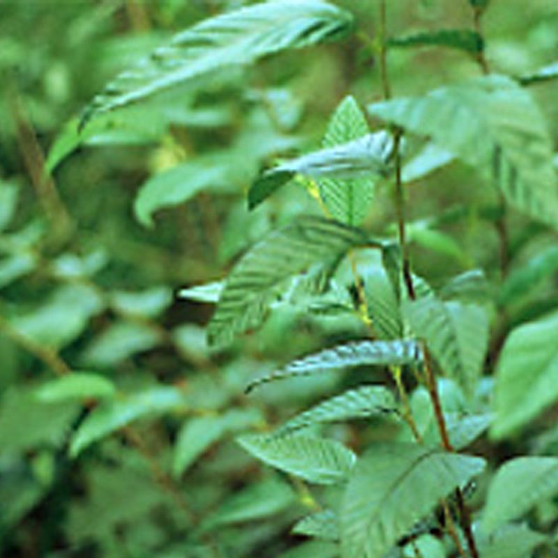 緑化用 草本 ヤシャブシ 外国産 種 1kg 種のみの販売 侵食防止 緑化 法面 種子 紅大 共B 代引不可 個人宅配送不可