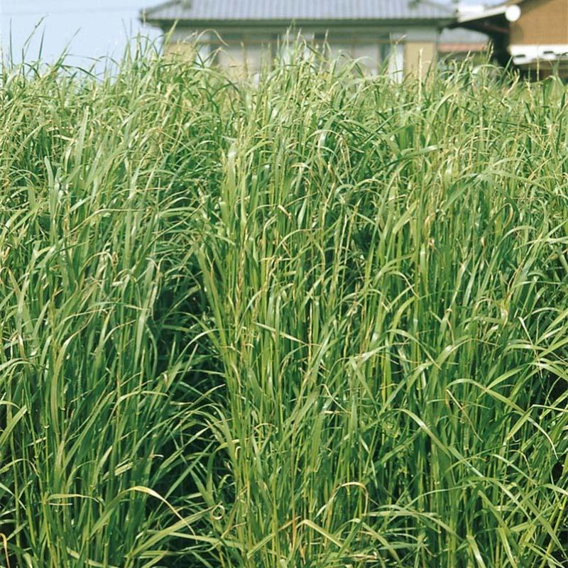 【種 10kg】 ハナミワセ 極早生 イタリアンライグラス 緑肥 イネ科作物 雪印種苗 米S【代引不可】