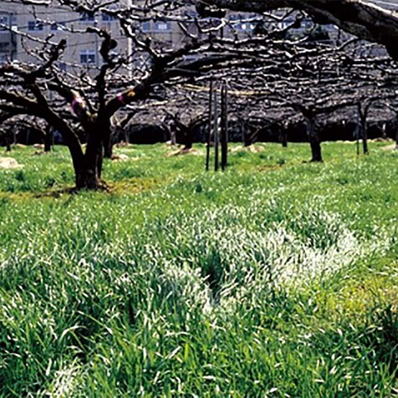 【種 10kg】 マンモスイタリアンB (ビリケン) イタリアンライグラス 緑肥 イネ科作物 雪印種苗 米S【代引不可】
