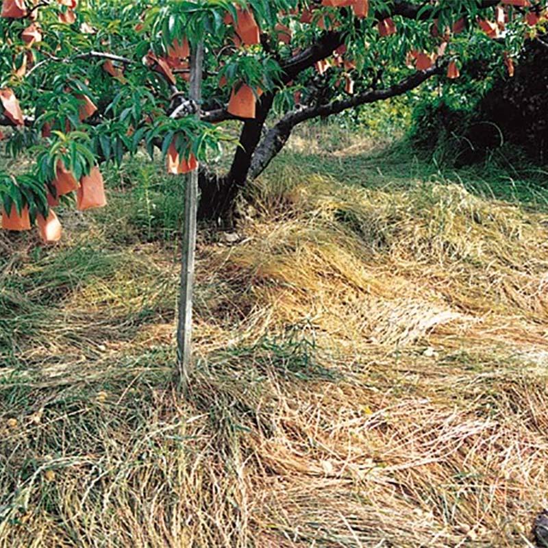 【種 5kg】 フルーツグラス AR-1 アニュアルライグラス 果樹草生栽培用 [播種期:3~11月] 雪印種苗 米S【代引不可】
