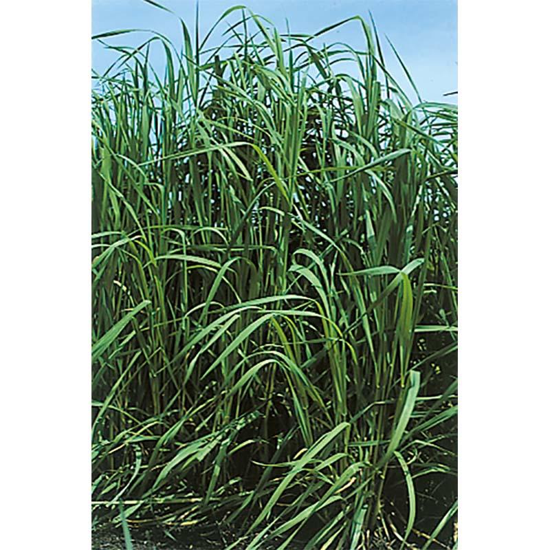 【種 10kg】 チモシー クライマックス 中生 畑地 牧草 緑肥 [播種期:4~10月] 雪印種苗 米S【代引不可】