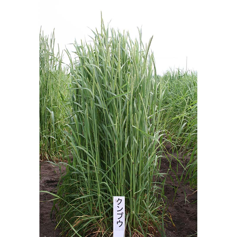 【種 5kg】 チモシー クンプウ 極早生 畑地 牧草 緑肥 [播種期:4~10月] 雪印種苗 米S【代引不可】