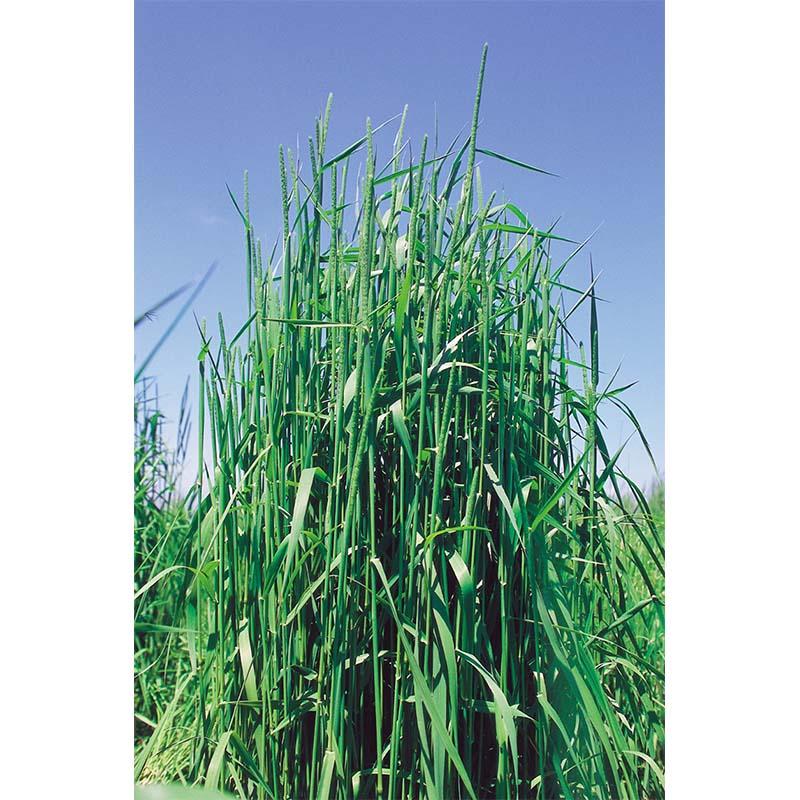 【種 5kg】 チモシー ホライズン 早生 畑地 牧草 緑肥 [播種期:4~10月] 雪印種苗 米S【代引不可】