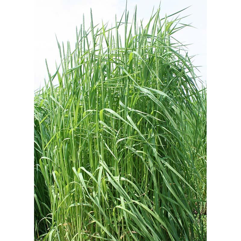 【種 4kg】 チモシー ヘリオス 中生 畑地 牧草 緑肥 [播種期:4~10月] 雪印種苗 米S【代引不可】