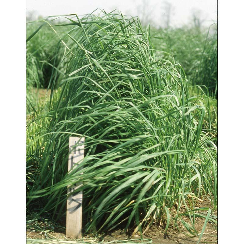 【種 4kg】 オーチャードグラス ポトマック 早生 牧草 緑肥 [播種期:4~10月] 雪印種苗 米S【代引不可】