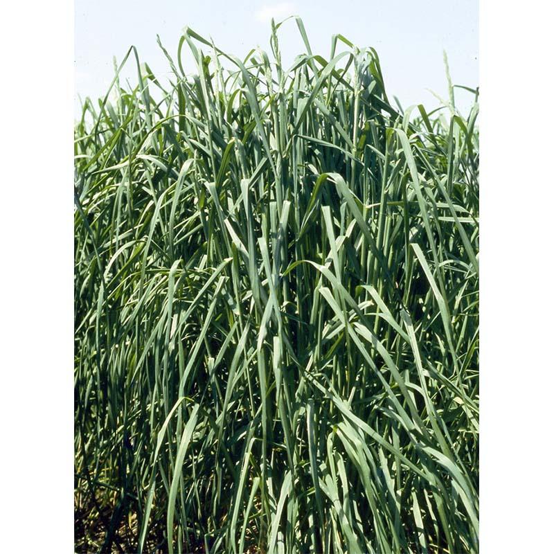 【種 3kg】 オーチャードグラス アキミドリ2 極早生 牧草 緑肥 [播種期:4~10月] 雪印種苗 米S【代引不可】