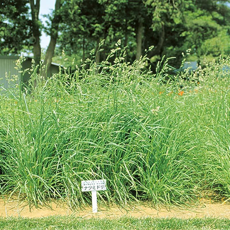 【種 4kg】 オーチャードグラス ナツミドリ 早生 牧草 緑肥 [播種期:4~10月] 雪印種苗 米S【代引不可】