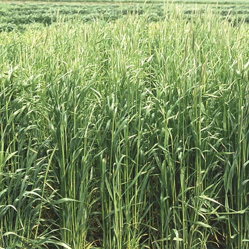【種 12kg】 ライムギ ライ麦 春一番 極早生 酪農 畜産 緑肥 [播種期:9~12月] 雪印種苗 米S【代引不可】