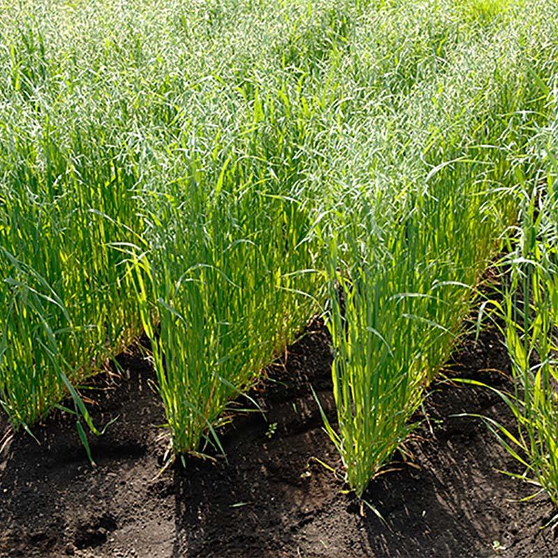 【種 15kg】 エンバク とちゆたか 畑作 園芸 緑肥 [播種期:2~11月] えん麦 雪印種苗 米S【代引不可】