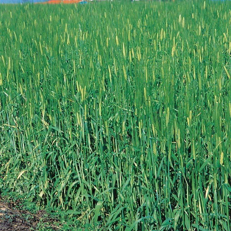 【種 10kg】 オオムギ ワセドリ2条 極早生 酪農 畜産 緑肥 [播種期:8~11月] 大麦 雪印種苗 米S【代引不可】