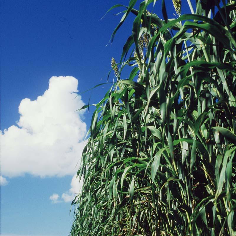 【種 5kg 5kg】】 ソルガム 酪農 ビッグシュガーソルゴー 晩生 酪農 畜産 [播種期:5~8月] 緑肥 [播種期:5~8月] 雪印種苗 米S【代引不可】, 家具のホンダ:6d42e9fa --- anime-portal.club