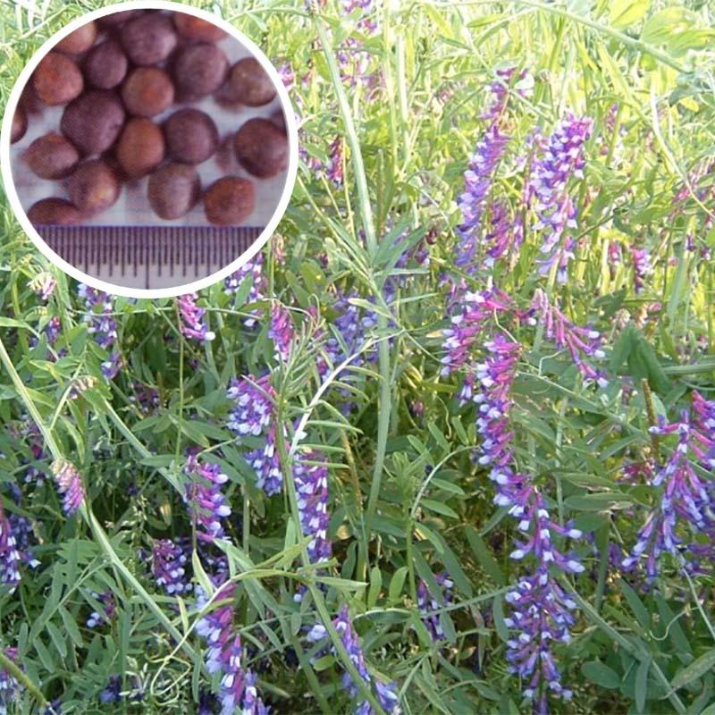 【種 10kg】 まめ助 (ナモイ) ヘアリーベッチ 晩生 緑肥 ミツバチの蜜源に 雪印種苗 植物 米S【送料無料】 【代引不可】