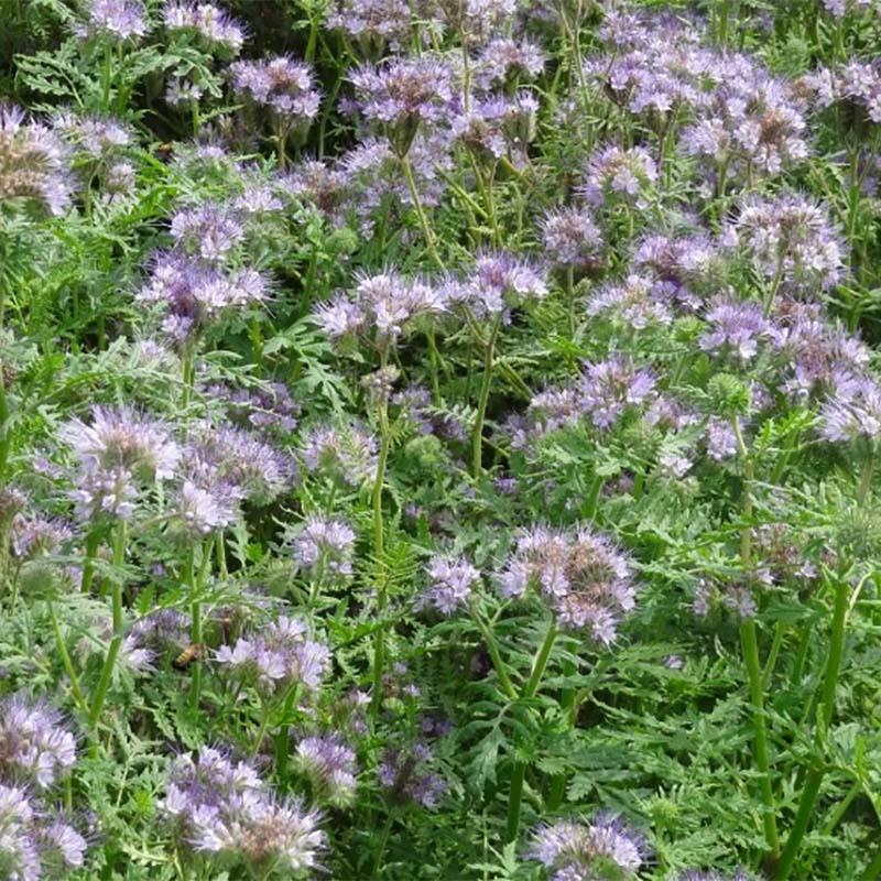 定番 紫色の花がきれいな春播き専用景観緑肥 種 3kg ハゼリソウ アンジェリア 代引不可 米S 緑肥 安全 雪印種苗 景観緑肥