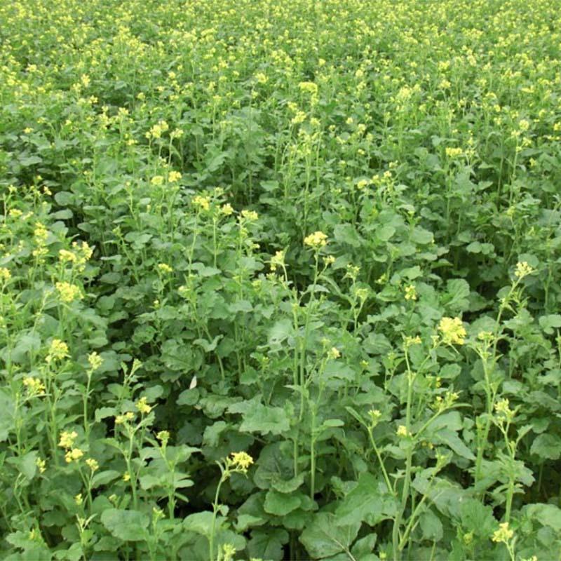 種 3kg カラシナ 辛神 からじん 緑肥 薫蒸作物 生種子 雪印種苗 米S 送料無料 代引不可