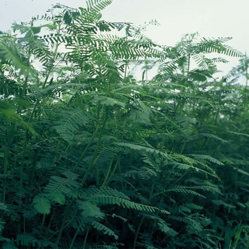種 6kg セスバニア 田助 畑地 土壌保全 緑肥 播種期:5~8月 雪印種苗 米S 送料無料 代引不可