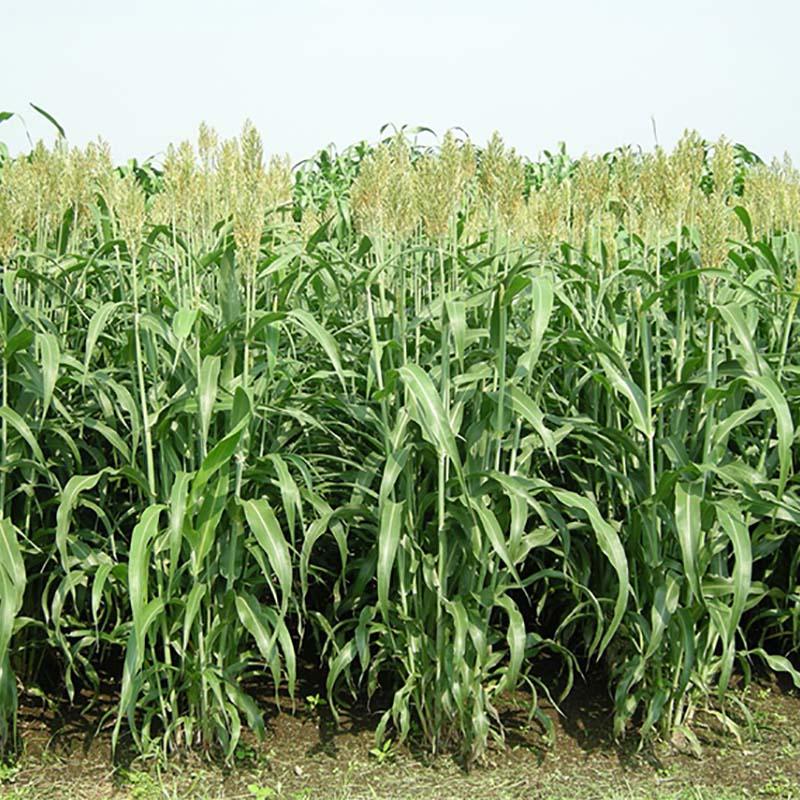 種 6kg ソルガム ハイグレンソルゴー 中早生 酪農 畜産 緑肥 播種期:5~8月 雪印種苗 米S 送料無料 代引不可