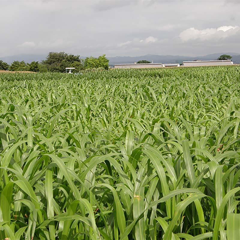 【種 6kg】 スーダン リッチスーダン スプリント 早生 酪農 畜産 緑肥 [播種期:5~8月] 雪印種苗 米S【送料無料】 【代引不可】