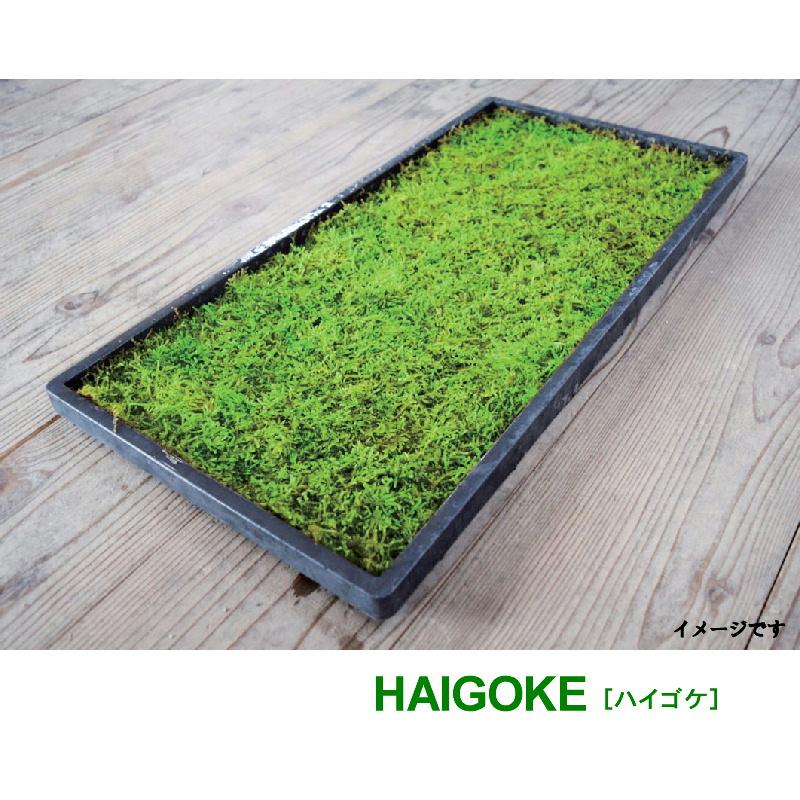 国産 這苔 300×450mm 10トレー ビロードのような葉 苔玉 装飾資材 庭園材 アクアテラリウム 2~5cm 天然 日照に強い 苔 ハイゴケ 日建 代引不可