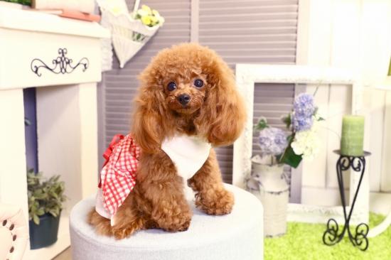 バーゲンセール やわらかいパイル地とレーススカートワンピース chiaro キアロ 天ギンガムワンピース Lサイズ ネコポスでお届けします 日本製 ドッグウェア 服 人気海外一番 犬 代引不可