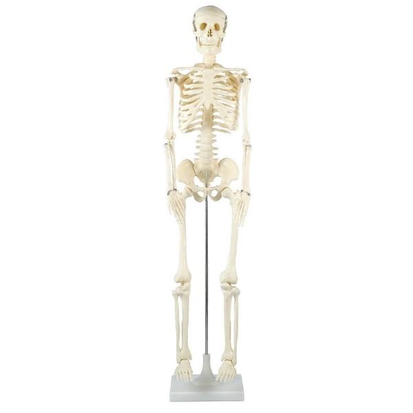 人体骨格模型 85cm [キャンセル・変更・返品不可]