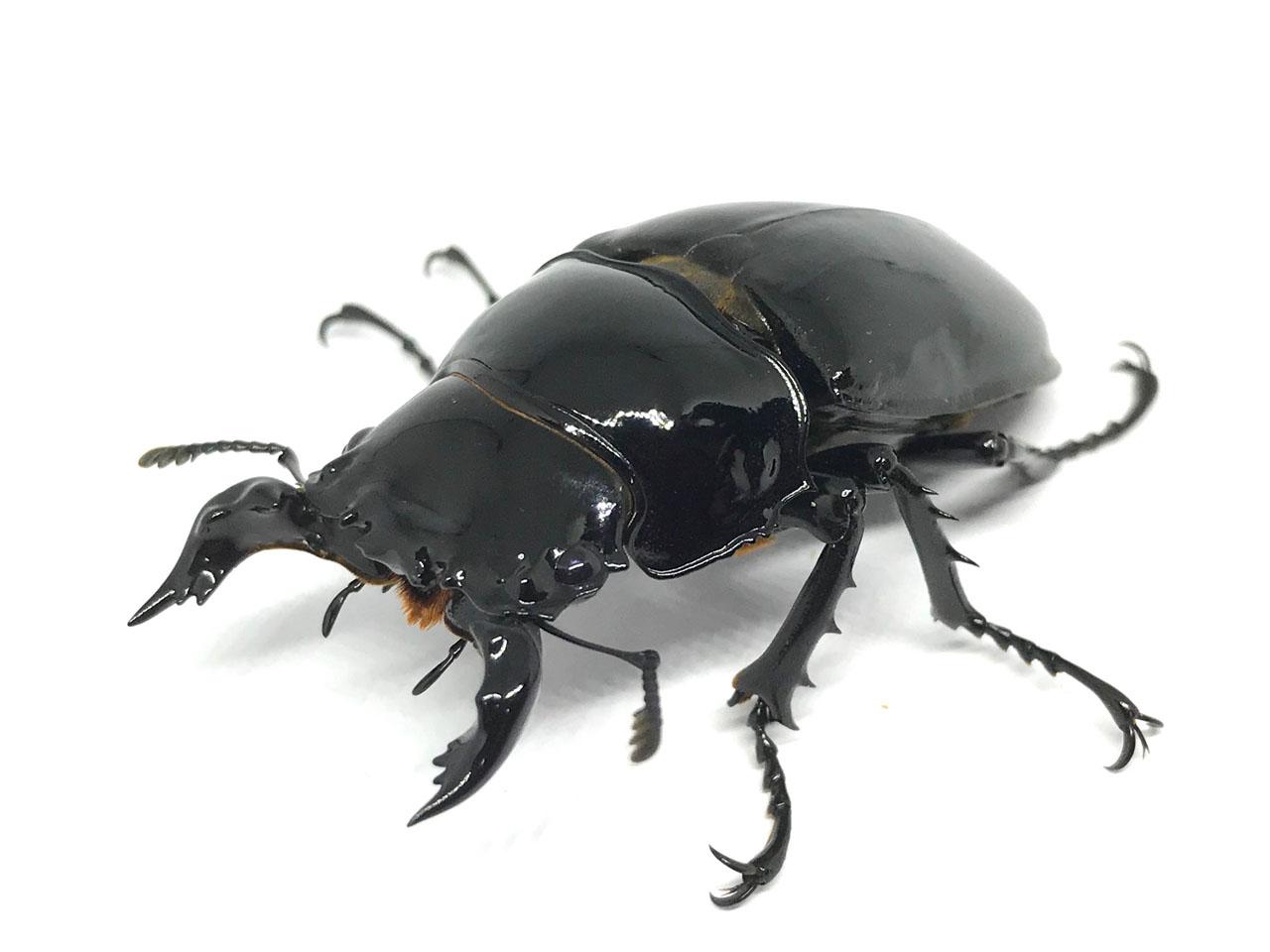 クワガタ タランドゥス オオ ツヤ タランドゥスオオツヤクワガタ幼虫潰し・卵腐る