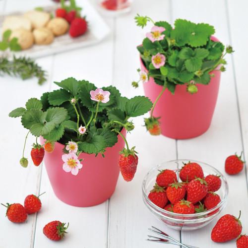 ピンクの花咲くストロベリー栽培キット 36点