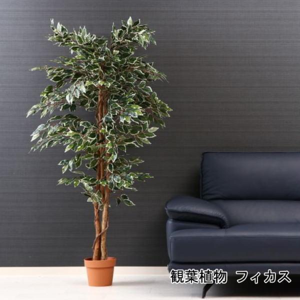 観葉植物 フィカス 1124 B 52664 代引き不可 送料無料