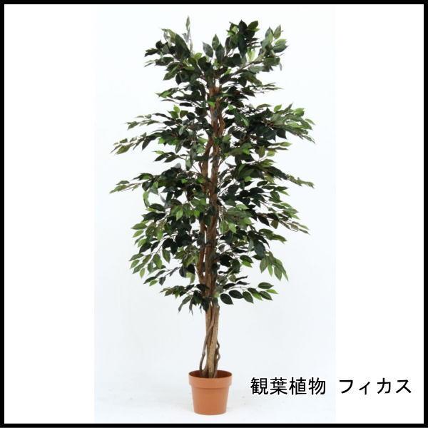 観葉植物 フィカス 1124 A 52662 代引き不可 送料無料
