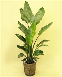 オーガスタの様な大きい葉の植物は蒸散作用が多く、室内に置くと加湿器のような役割をしてくれることから、人気の植物です!! オーガスタ【10号鉢】バスケット付(代引き不可)【int_d11】