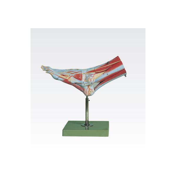 足の筋肉解剖模型/人体解剖模型 【9分解】 実物大 合成樹脂製 J-114-2【代引不可】