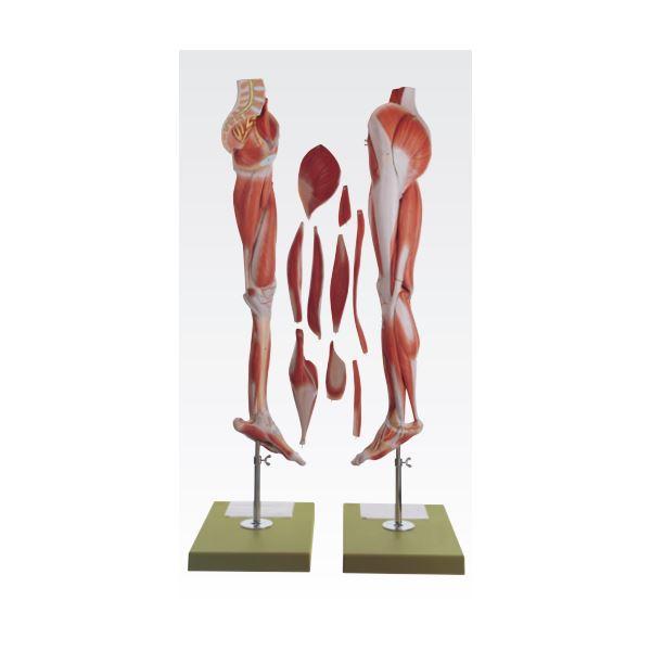 下肢模型/人体解剖模型 【10分解】 等身大 J-114-9【代引不可】