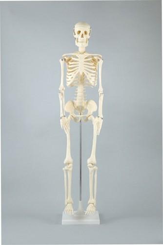 《単品》【ATC】人体骨格模型 85cm [008850] 【送料無料】【int_d11】