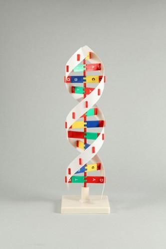 《単品》【ATC】DNAモデル B [008983] 【送料無料】【int_d11】