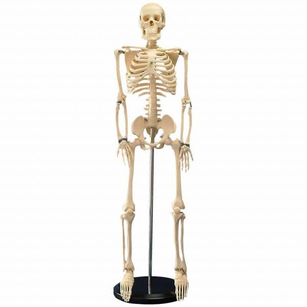 人体模型シリーズ 人体骨格模型85cm(代引き不可)【送料無料】