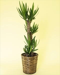 ユッカは葉も強く、観葉植物の中でもスタンダードな種類のひとつ別名:青年の木 ユッカ【8号鉢】バスケット付(代引き不可)【送料無料】