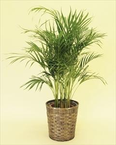 アレカヤシでトロピカルで南国ムードを演出!椰子の仲間の中でも人気の高い観葉植物。寒さに弱いので、室内置きがオススメです! アレカヤシ【10号鉢】バスケット付(代引き不可)【送料無料】