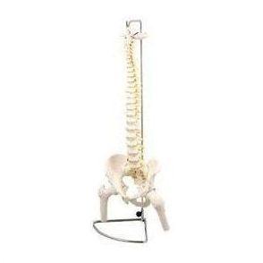 脊柱模型 大腿骨付 9710