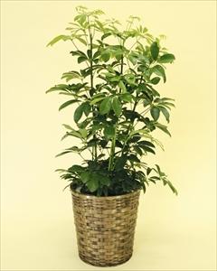 寒さに比較的強い観葉植物です。葉が丸く丈夫なカポックは室内置きにも適しているので、ご自宅はもちろん、贈答用としても大変喜ばれます。 カポック【8号鉢】バスケット付(代引き不可)【送料無料】