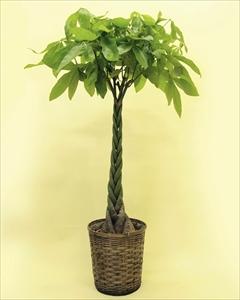 当店一番人気の観葉植物パキラ・編みタイプです!乾燥に強く、室内置きにも適しているので、ご自宅はもちろん、贈答用としても大変喜ばれます。 パキラ【10号鉢】バスケット付(代引き不可)【送料無料】